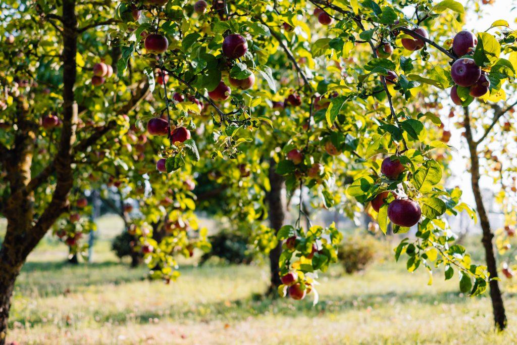 Apple orchard - free stock photo