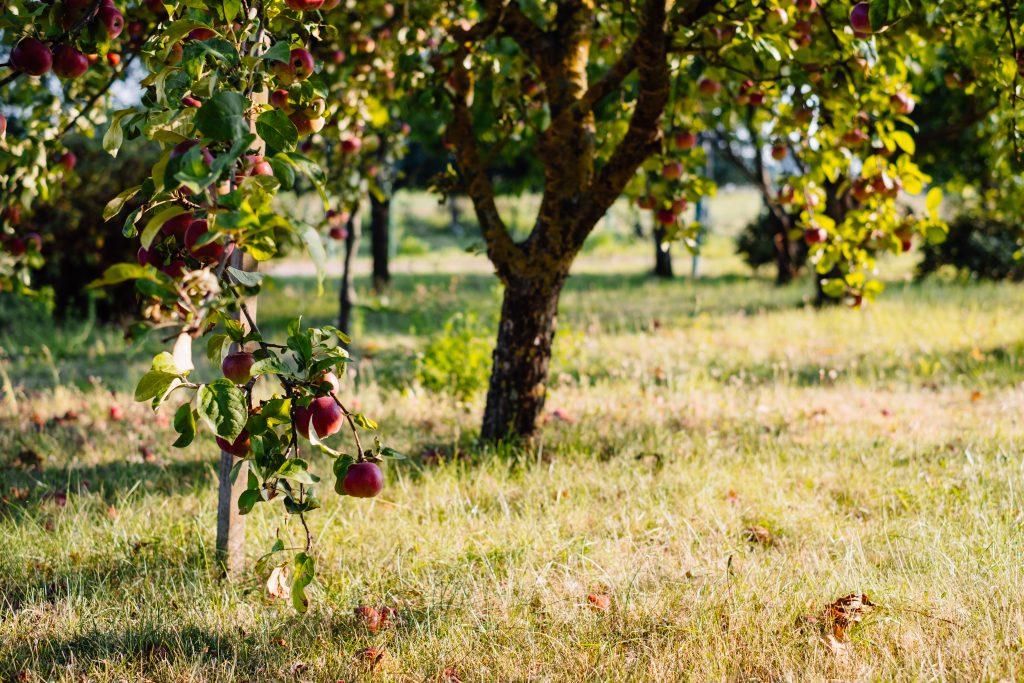 Apple orchard 2 - free stock photo