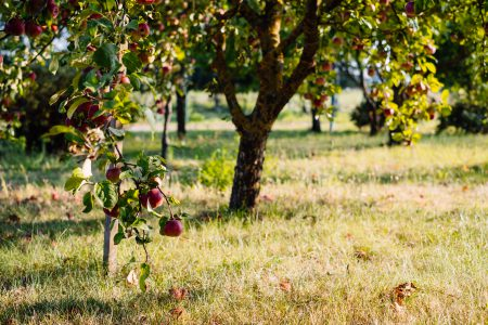 Apple orchard 2 - free stock photo