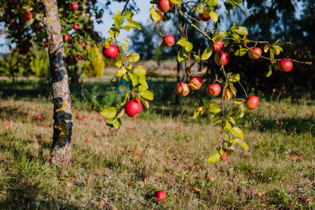 Apple orchard 3 - free stock photo