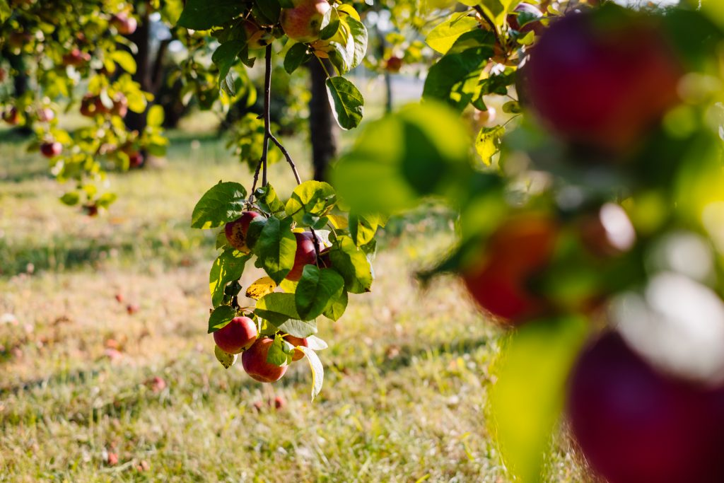 Apple orchard 4 - free stock photo