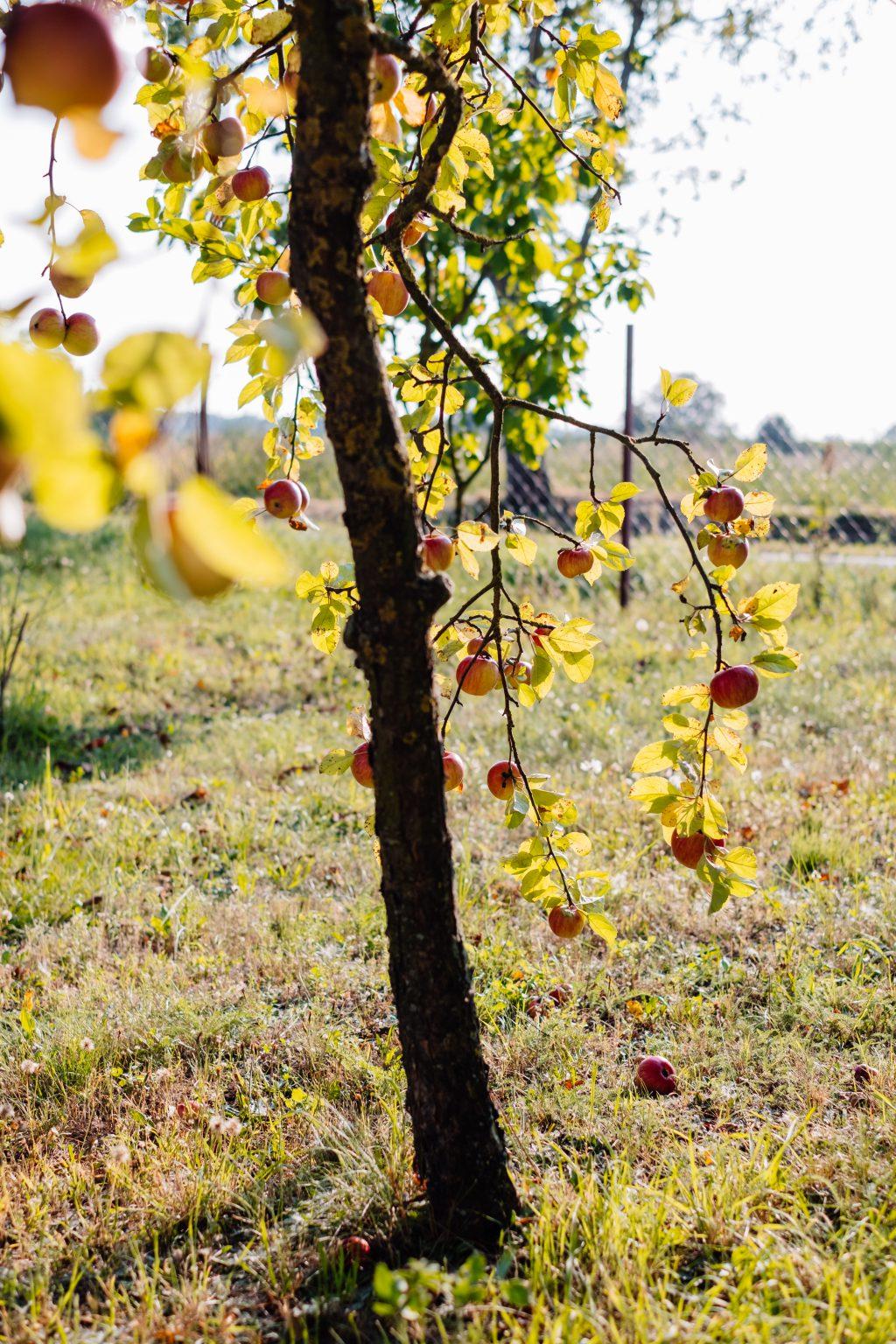 Apple tree 2 - free stock photo