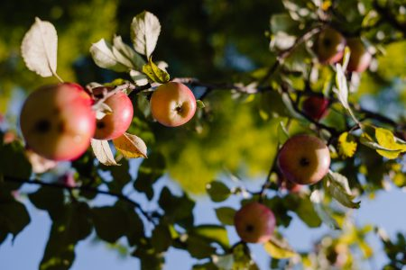Apples on a tree - free stock photo