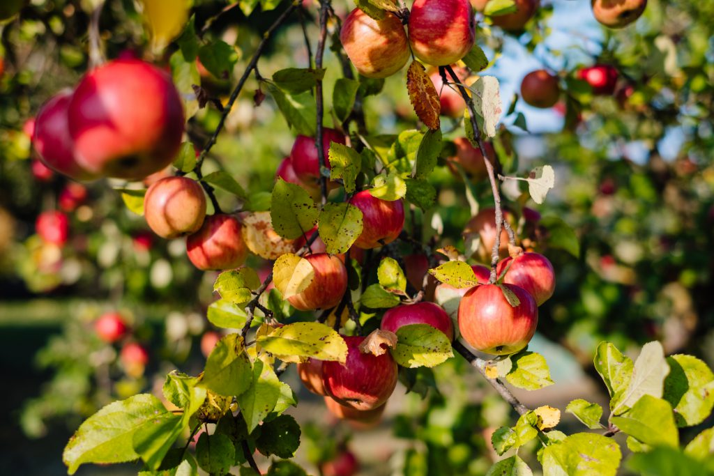 Apples on a tree 2 - free stock photo