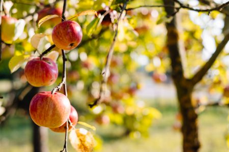Apples on a tree 3 - free stock photo