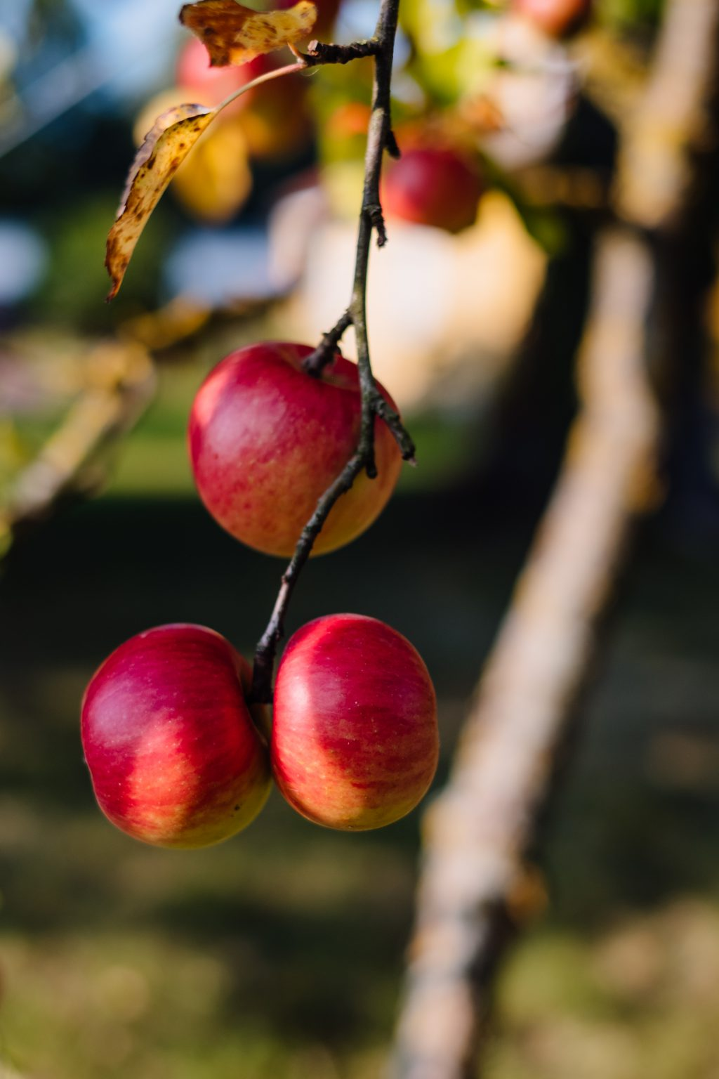 Apples on a tree 4 - free stock photo