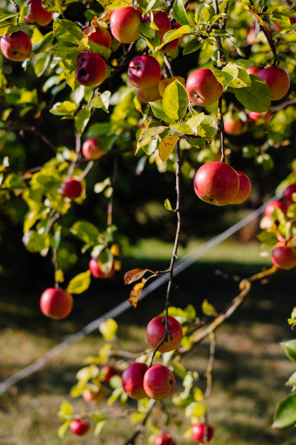 Apples on a tree 5 - free stock photo