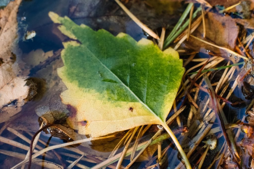 Autumn leaves in the water 4 - free stock photo