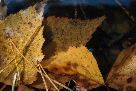 Autumn leaves under water 2 - free stock photo