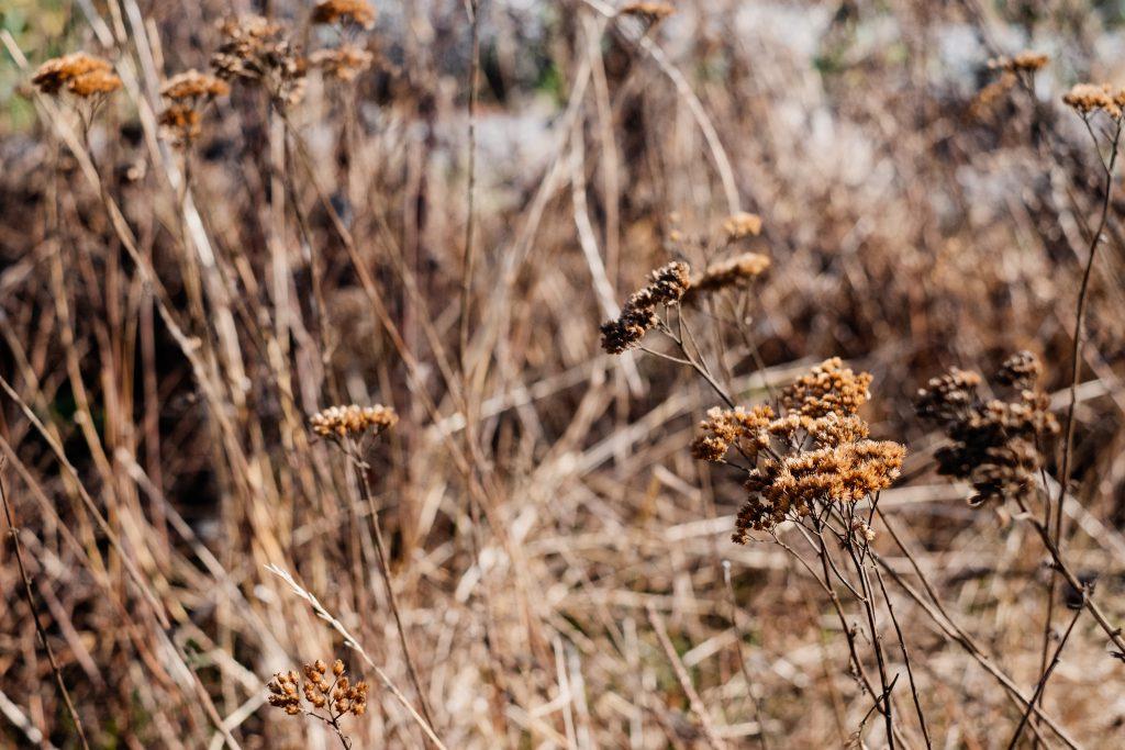 Dried wild weed - free stock photo