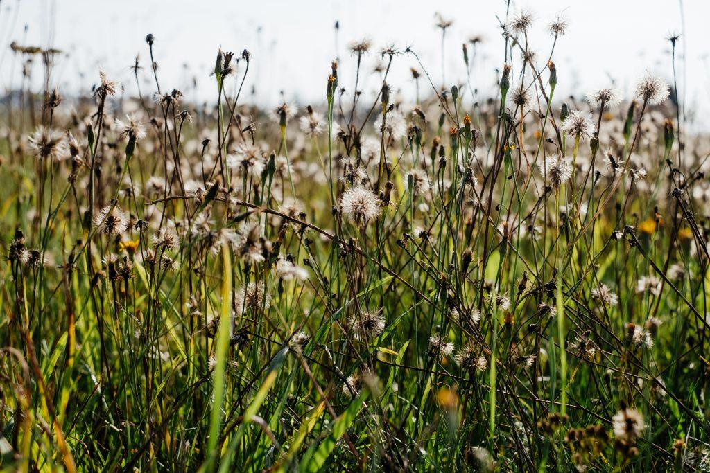 Dried wild weed 3 - free stock photo