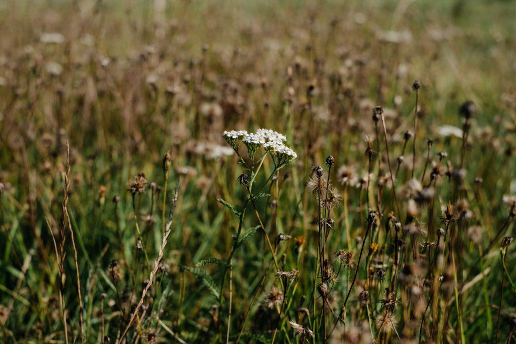 Dried wild weed 4 - free stock photo