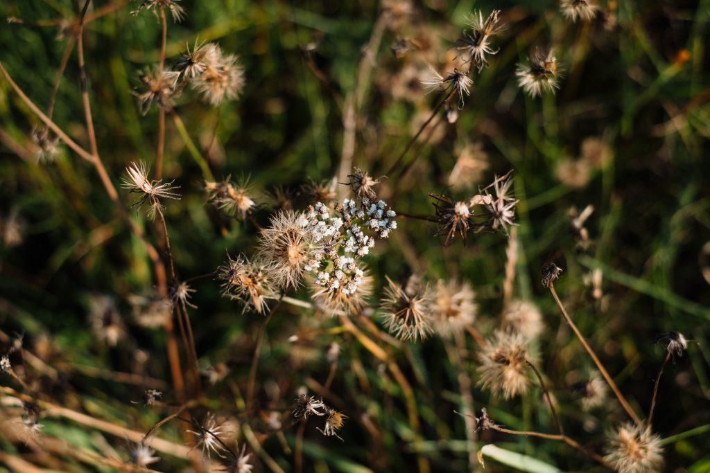 Dried wild weed closeup - free stock photo