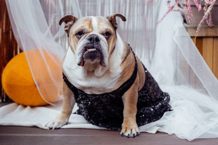 English Bulldog dress up for Halloween - free stock photo
