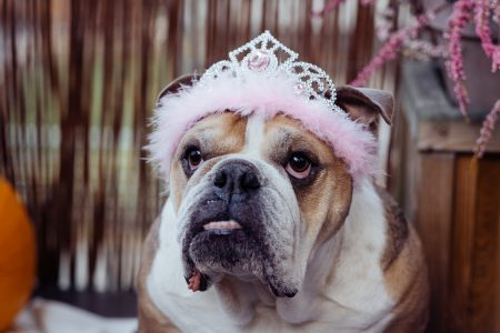 English Bulldog dress up for Halloween 3 - free stock photo