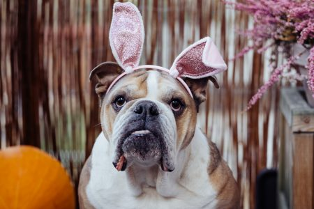 English Bulldog dress up for Halloween 4 - free stock photo