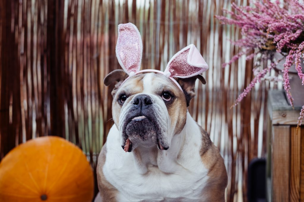 English Bulldog dress up for Halloween 5 - free stock photo