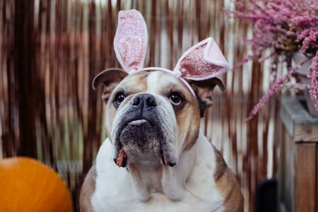 English Bulldog dress up for Halloween 6 - free stock photo