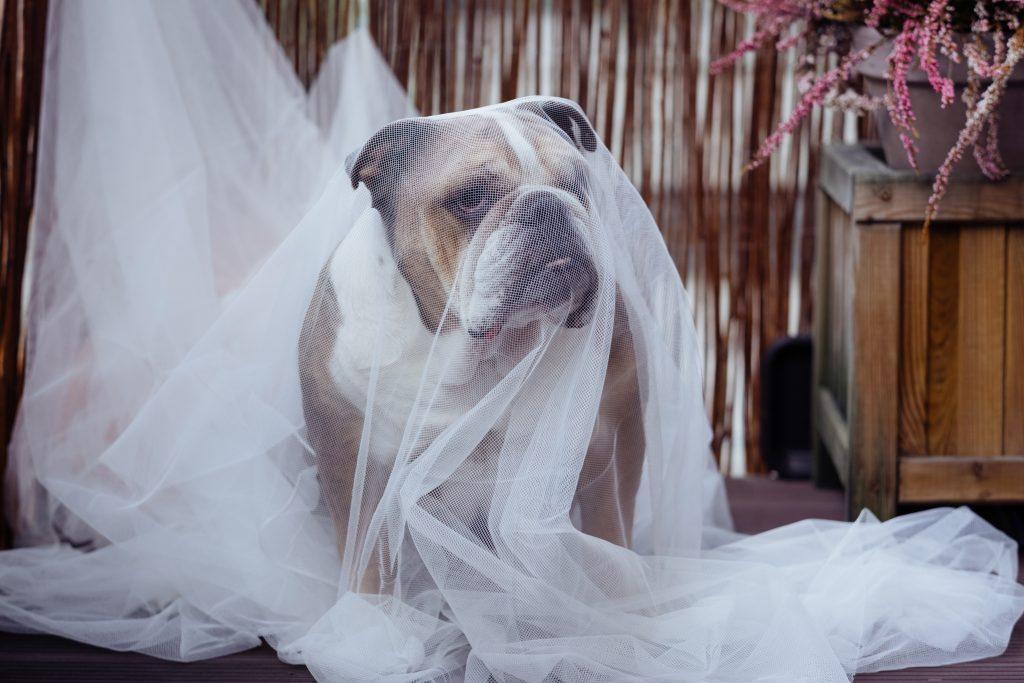 English Bulldog in a ghost costume - free stock photo