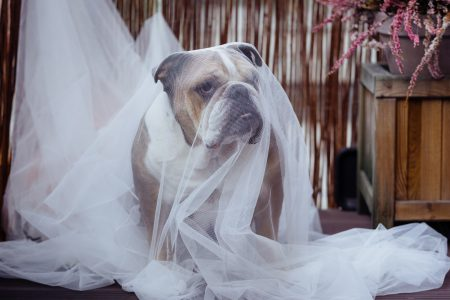 English Bulldog in a ghost costume - free stock photo
