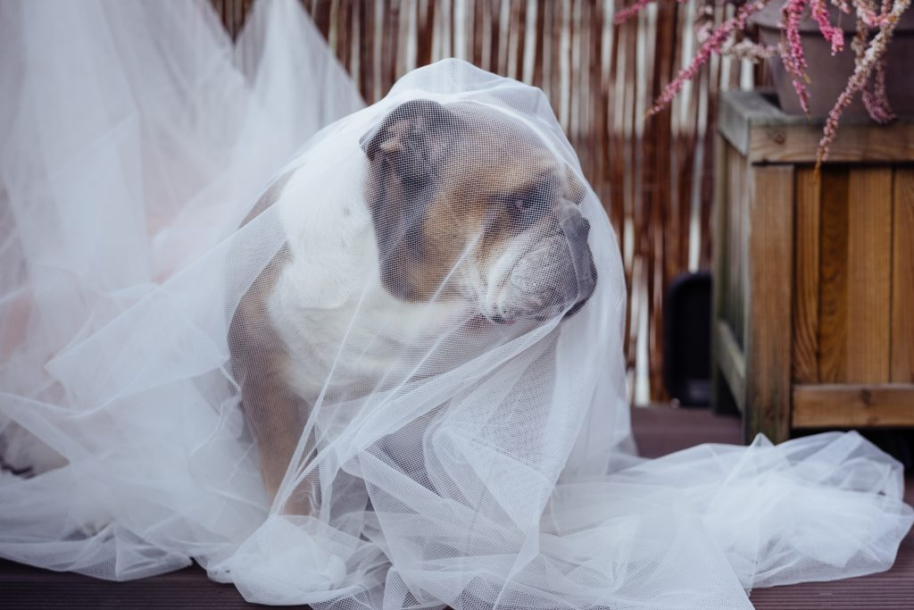 English Bulldog in a ghost costume 2 - free stock photo