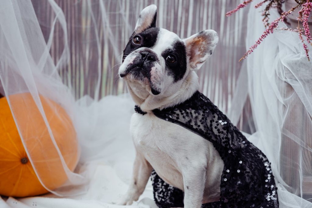French Bulldog dressed up for Halloween - free stock photo