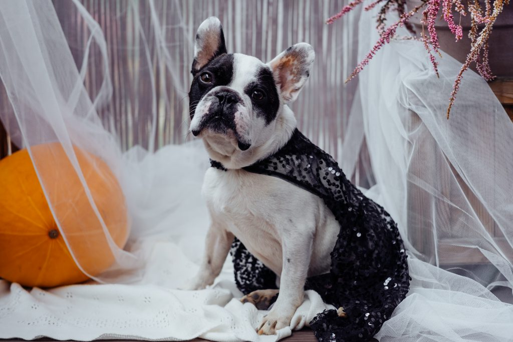 French Bulldog dressed up for Halloween 2 - free stock photo