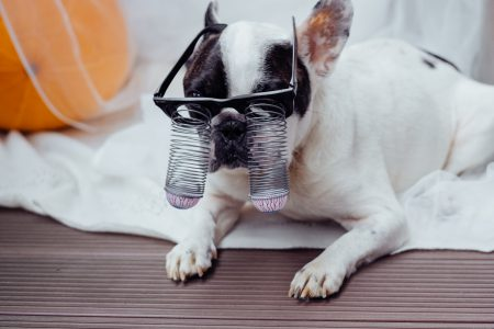 French Bulldog dressed up for Halloween 3 - free stock photo