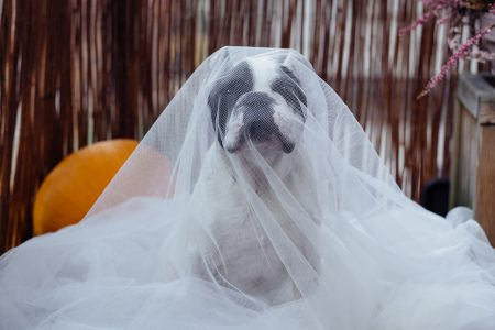 French Bulldog in a ghost costume - free stock photo