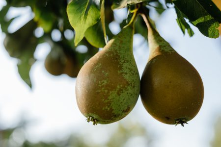 Pears on a tree - free stock photo