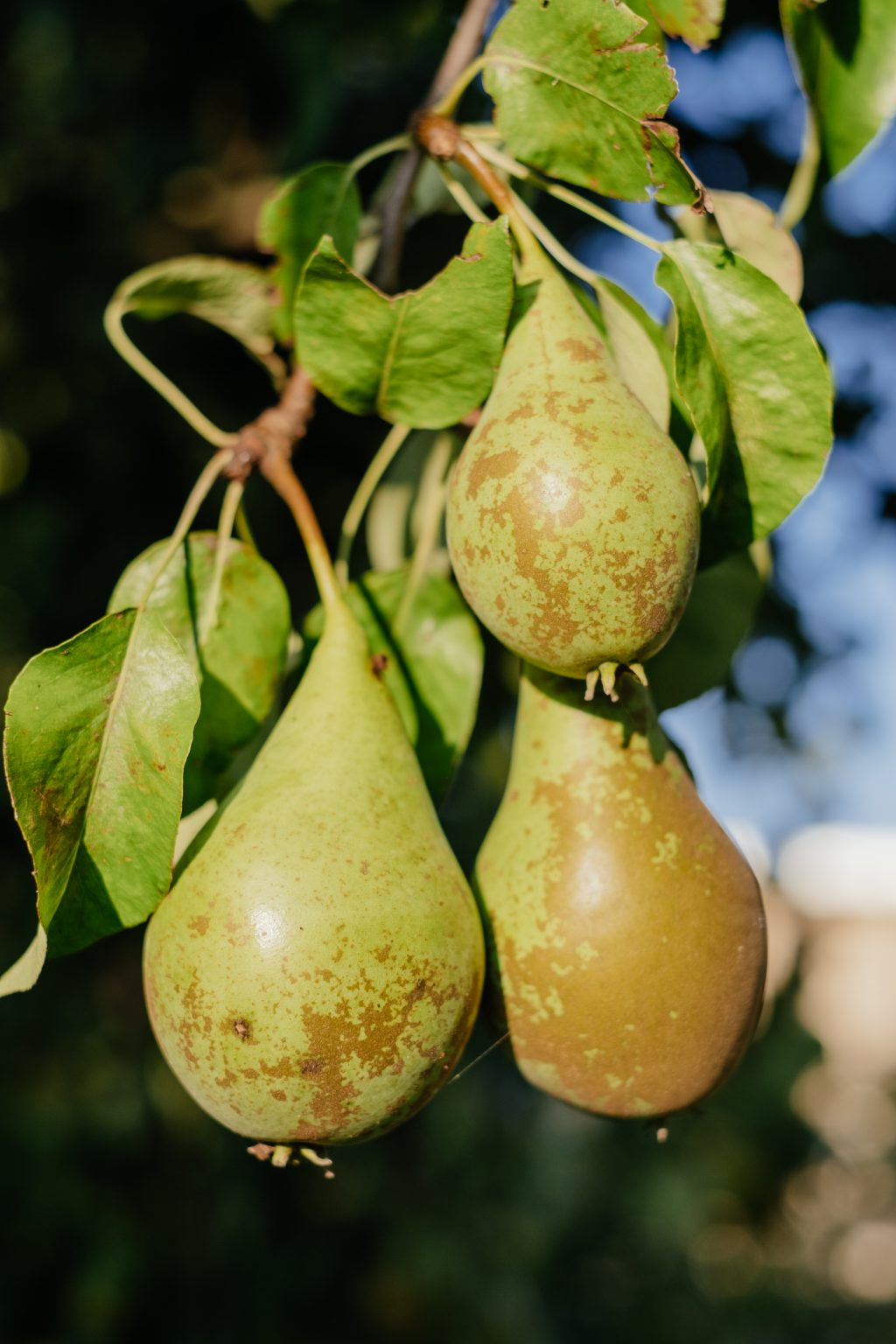 Pears on a tree 2 - free stock photo