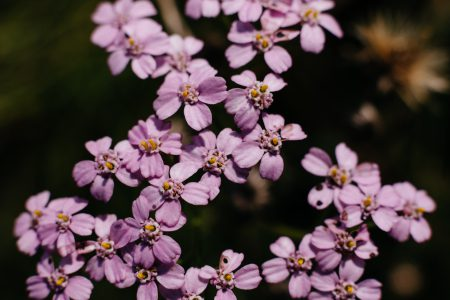Pink yarrow wild flower closeup - free stock photo