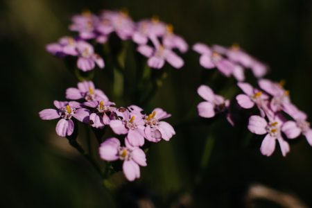 Pink yarrow wild flower closeup 2 - free stock photo