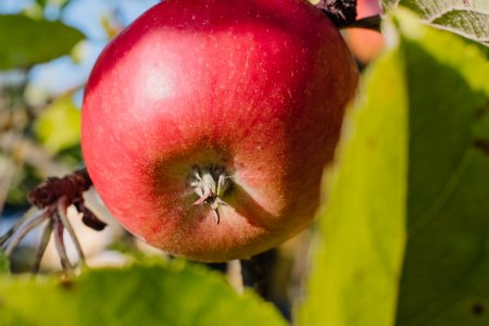 Red apple on a tree closeup - free stock photo