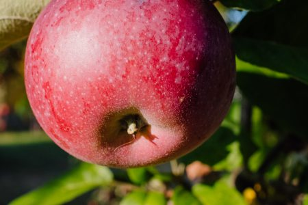 Red apple on a tree closeup 2 - free stock photo