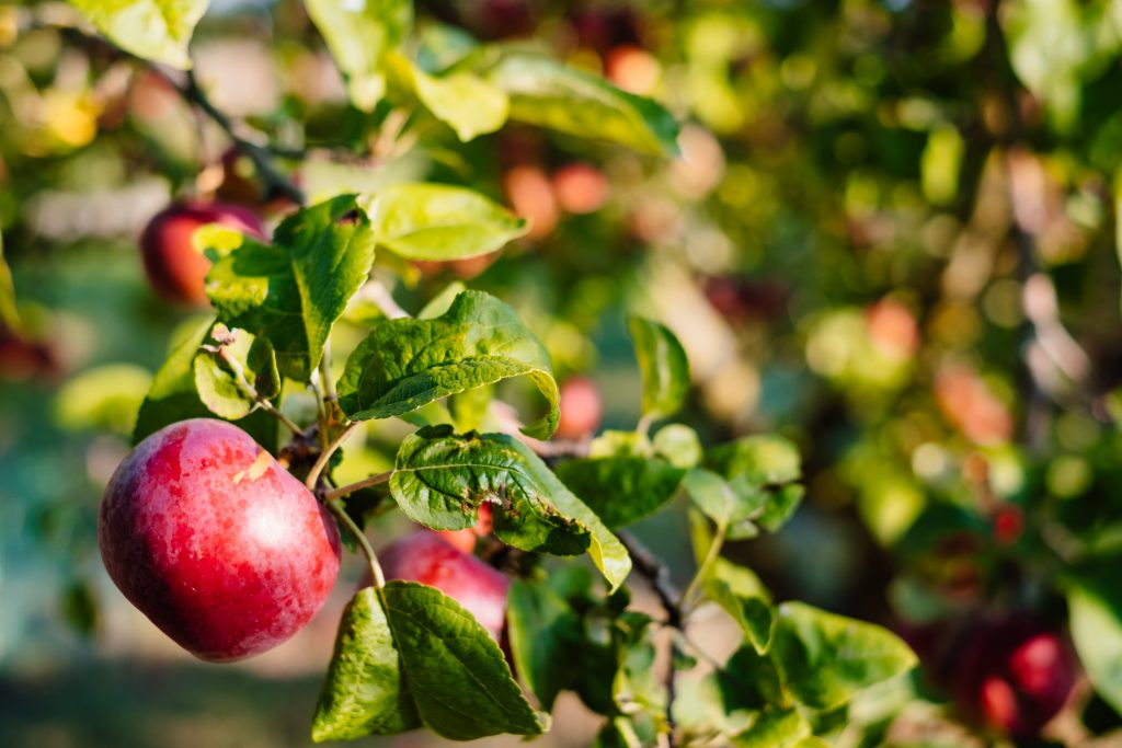 Red apples on a tree - free stock photo