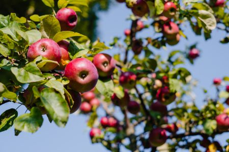 Red apples on a tree 2 - free stock photo