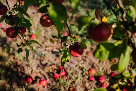 Red apples on a tree and on the ground - free stock photo