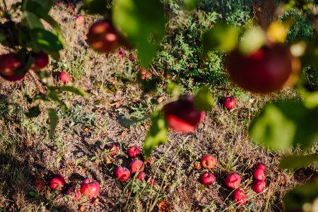Red apples on a tree and on the ground 2 - free stock photo
