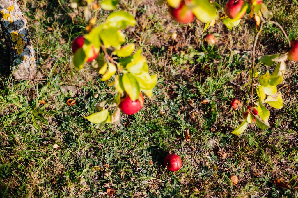 Red apples on a tree and on the ground 3 - free stock photo
