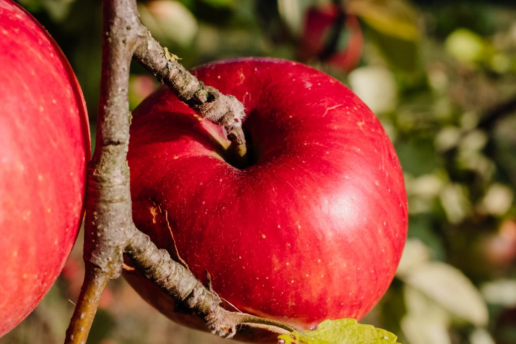 Red apples on a tree closeup - free stock photo