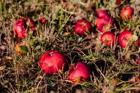 Red apples on the ground 2 - free stock photo