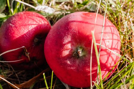 Red apples on the ground closeup - free stock photo