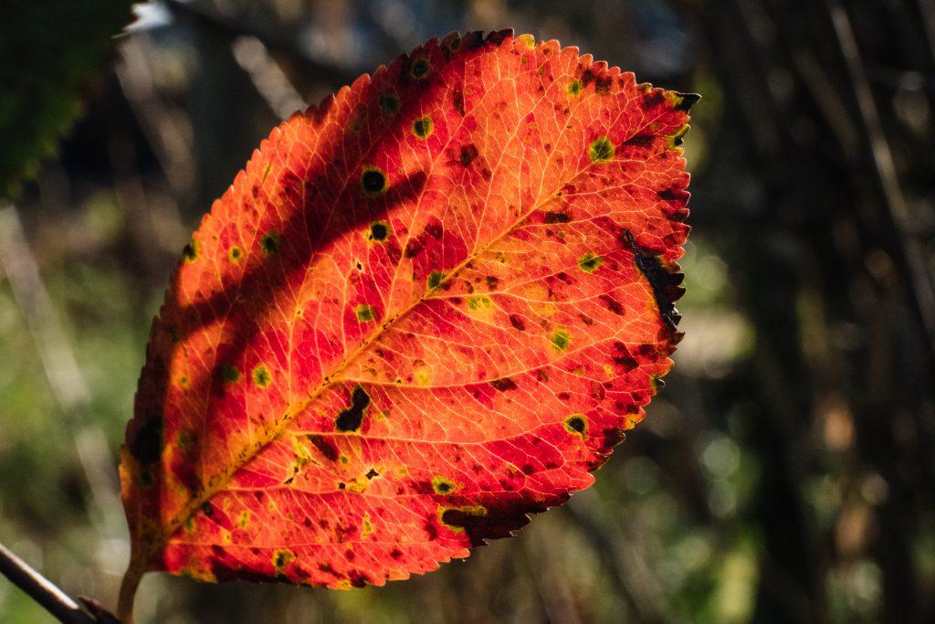 Red elm tree leaf - free stock photo