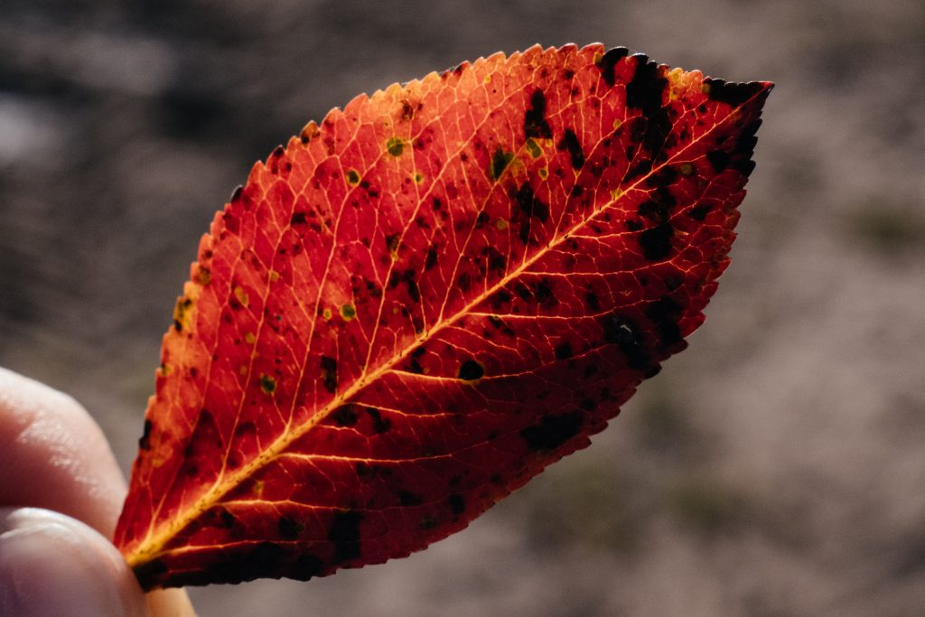 Red elm tree leaf 2 - free stock photo