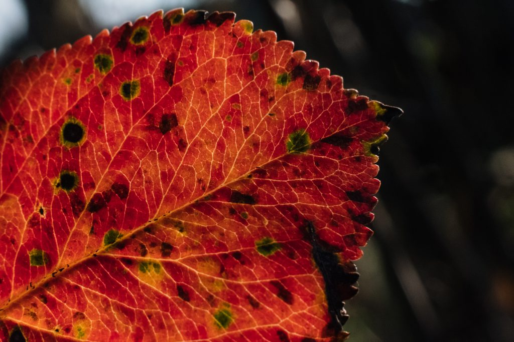 Red elm tree leaf 3 - free stock photo