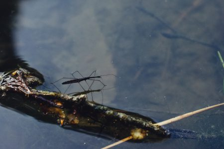 Water strider insect - free stock photo
