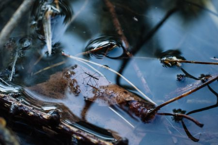 Water strider insect 2 - free stock photo
