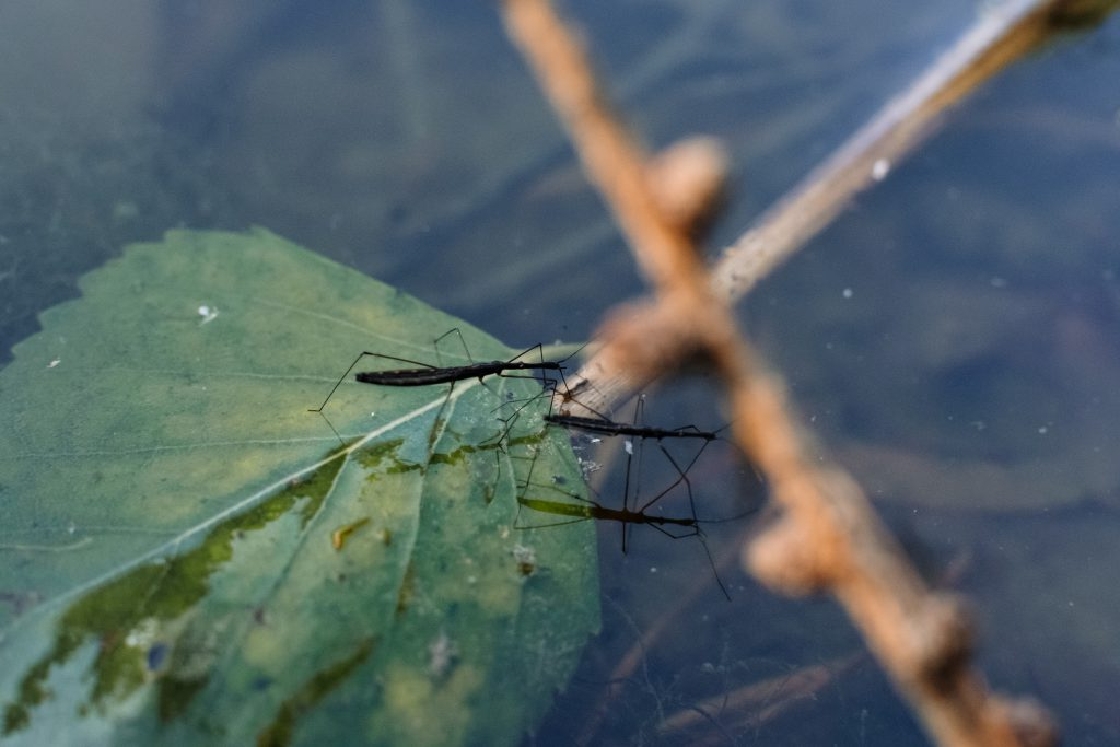 Water strider insects - free stock photo