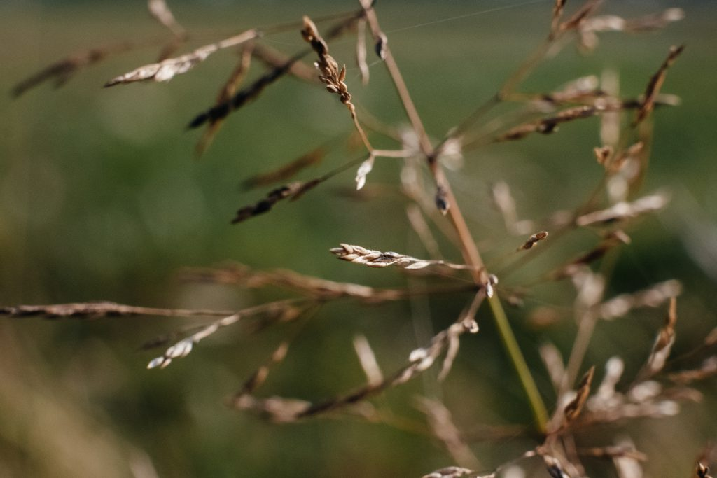 Wildgrass closeup - free stock photo